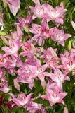 Rosa asiatiska liljor Arkivbilder