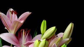 Rosa asiatiska Lily Flower Timelapse lager videofilmer