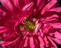 Rosa aster Arkivbilder