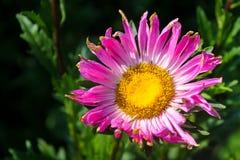 Rosa aster i trädgård arkivbilder