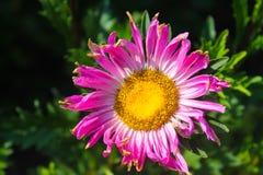 Rosa aster i trädgården royaltyfri fotografi