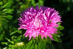 Rosa aster i trädgården royaltyfri bild