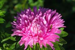 Rosa aster i trädgården arkivfoton