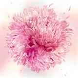 Rosa aster- och krysantemumsfär Arkivbild