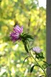 Rosa aster på gräsplan Fotografering för Bildbyråer