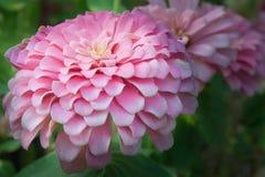 Rosa asterblomma i den trädgårds- Rama 9 (det lokala namnet) medborgaren, Bangko Fotografering för Bildbyråer