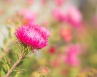 Rosa asterblomma i trädgården Arkivbild