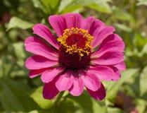 Rosa asternärbild arkivfoton