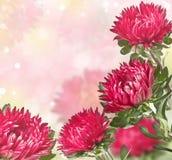 Rosa asters med en suddighet bakgrund Royaltyfria Foton