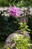 Rosa astilbe i trädgård fotografering för bildbyråer
