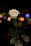 Rosa auf den Hintergrundlichtern Stockbild
