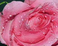 Rosa aumentou Foto de Stock Royalty Free