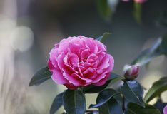 Rosa aurora,rose bengal camellia, japonica, in full bloom with blue sky background royalty free stock photos