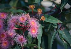 Rosa Australier Corymbia-Eukalyptusblüten lizenzfreie stockfotografie