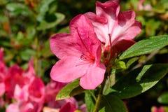 Rosa Autumn Azaleas arkivbilder