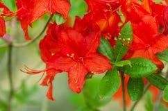 Rosa Azalea Blooms Arkivfoto