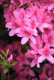 Rosa Azalea Flower Royaltyfria Bilder