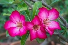 Rosa azaleablommor Royaltyfri Foto