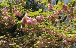 Rosa azaleaväxt för vår i Anne Arundel County i Maryland arkivbilder