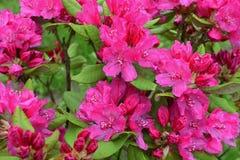 Rosa Azaleen- oder Rhododendronblühen lizenzfreies stockbild