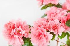 Rosa Azaleenblume in einem konkreten Topf stockbild