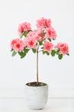 Rosa Azaleenblume in einem konkreten Topf lizenzfreie stockfotos
