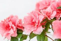 Rosa Azaleenblume in einem konkreten Topf stockbilder