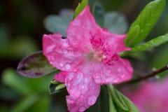 Rosa Azaleenblume im Garten bedeckt in den Regentröpfchen lizenzfreie stockfotos