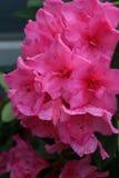 Rosa azaleor efter en regndusch arkivfoton