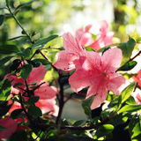 Rosa Azalia blommor Retro filterfoto Vår Royaltyfria Bilder