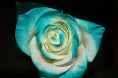 Rosa azul Imagens de Stock Royalty Free
