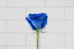 Rosa azul Foto de Stock