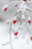 Rosa, bacca, fresco, congelato, sana, gelo, naturale Immagini Stock Libere da Diritti