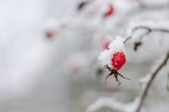 Rosa, bacca, fresco, congelato, sana, gelo, naturale Fotografie Stock Libere da Diritti