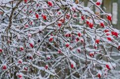 Rosa, bacca, fresco, congelato, sana, gelo, naturale Fotografia Stock Libera da Diritti