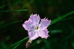 Rosa bad - Dianthus Gratianopolitanus royaltyfria bilder