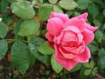 Rosa bagnata dopo la pioggia Fotografia Stock