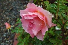 Rosa bagnata rosa Fotografie Stock