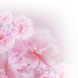 Rosa bakgrund Arkivbild