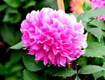 Rosa bakgrund för dahliablommagräsplan royaltyfria foton