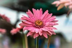 Rosa bakgrund för gerberablommanatur Fotografering för Bildbyråer