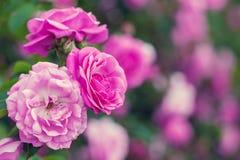 Rosa bakgrund för härlig rosa färgträdgård med kopieringsutrymme Royaltyfria Bilder
