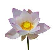 Rosa bakgrund för lotusblommaisolatvit Arkivbild