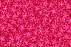 Rosa bakgrund för modell för neriumoleanderblomma royaltyfri fotografi