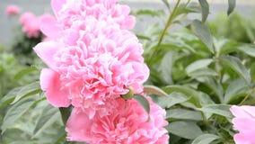 Rosa bakgrund för pionbuskeblomma stock video