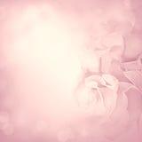 Rosa bakgrund med rose blommor Arkivbild