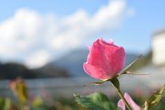Rosa bakgrundsnatur för fiskromar royaltyfria foton