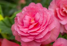 Rosa Balsamblumen Stockbild