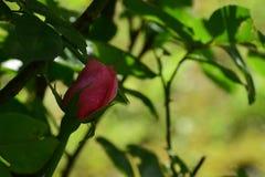 A rosa banhada no orvalho imagem de stock