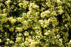 Rosa Banksiae Royalty Free Stock Photos